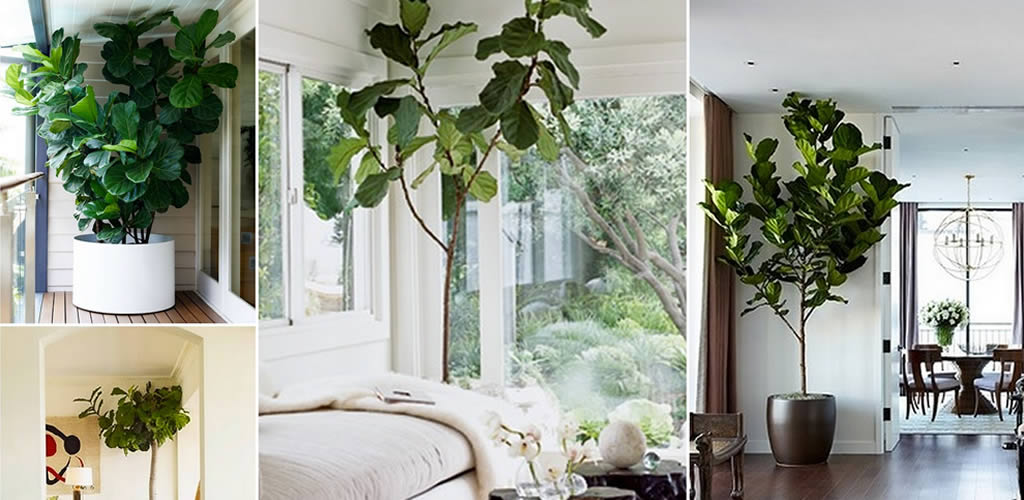 Ficus Lyrata: la planta de tendencia