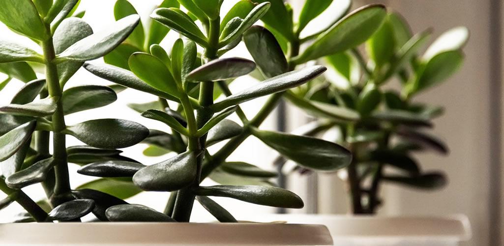 Planta de jade: cuidados y cómo decorar tu hogar con esta planta