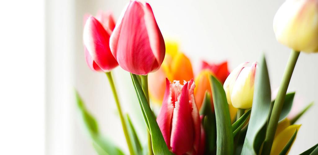 7 razones por las que los tulipanes no pueden faltar en tu casa