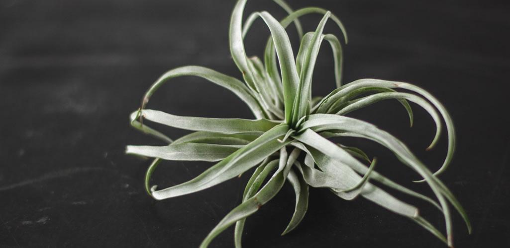 Plantas de aire, cómo tener este tipo de plantas decorando tu hogar