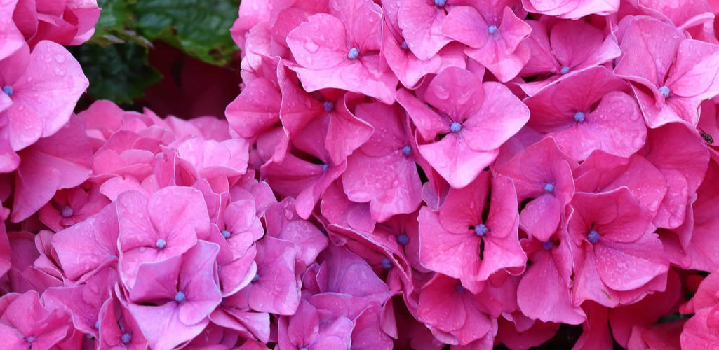 Hortensias, las flores más coloridas que debes tener en casa
