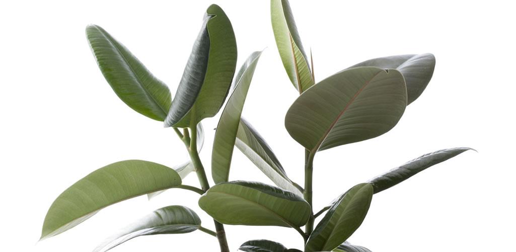 Ficus, la planta de interior que todos desean por su elegancia y cuidados simples