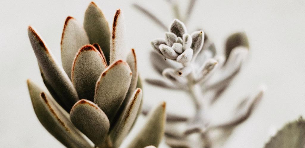 Kalanchoe, la planta medicinal ideal para tener en casa. ¡Conócela!