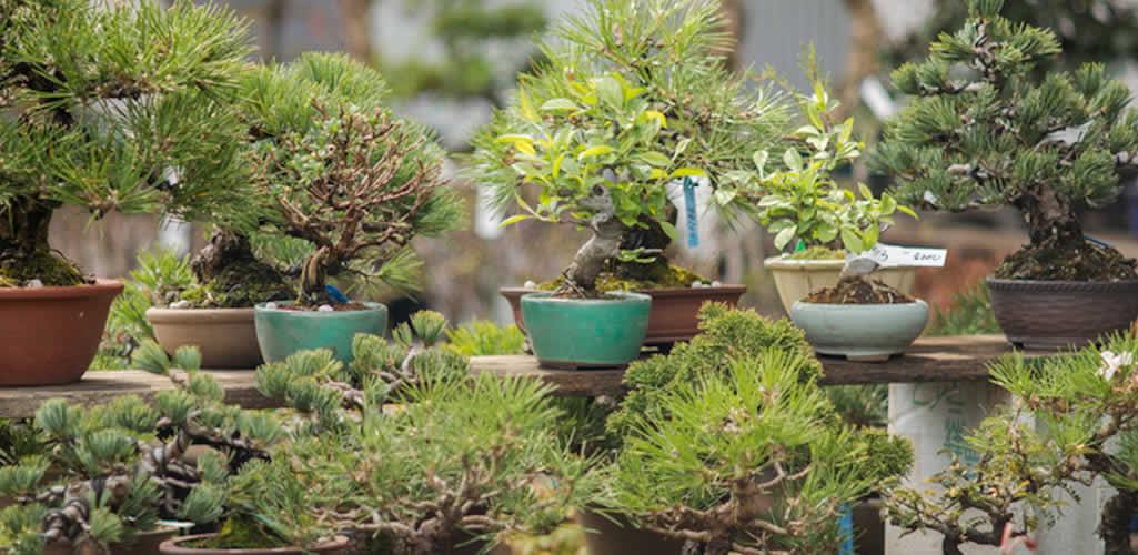 5 tips para cuidar tu bonsái y qué especie tener en interiores o exteriores