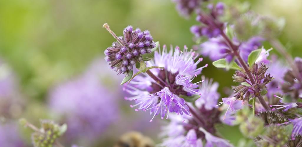 Esta planta ahuyenta los molestos mosquitos en época de lluvia