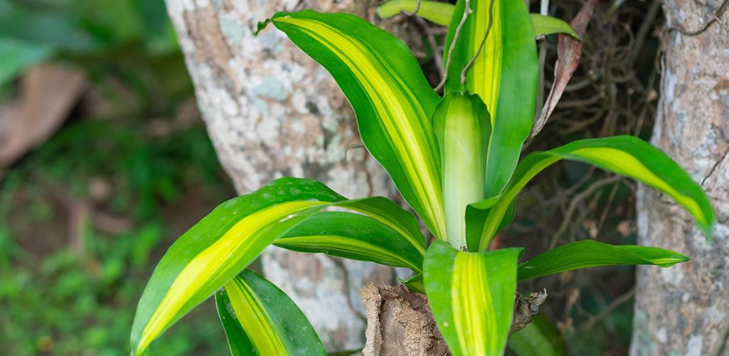 ¿Qué hacer si se ponen amarillas las hojas de mi palo de brasil?